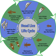 treating head lice by understanding the head lice life cycle
