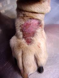 ringworm on dogs - the telltale pink area