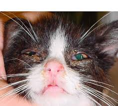 ringworm on your cat - a kitten blinded by the untreated infection
